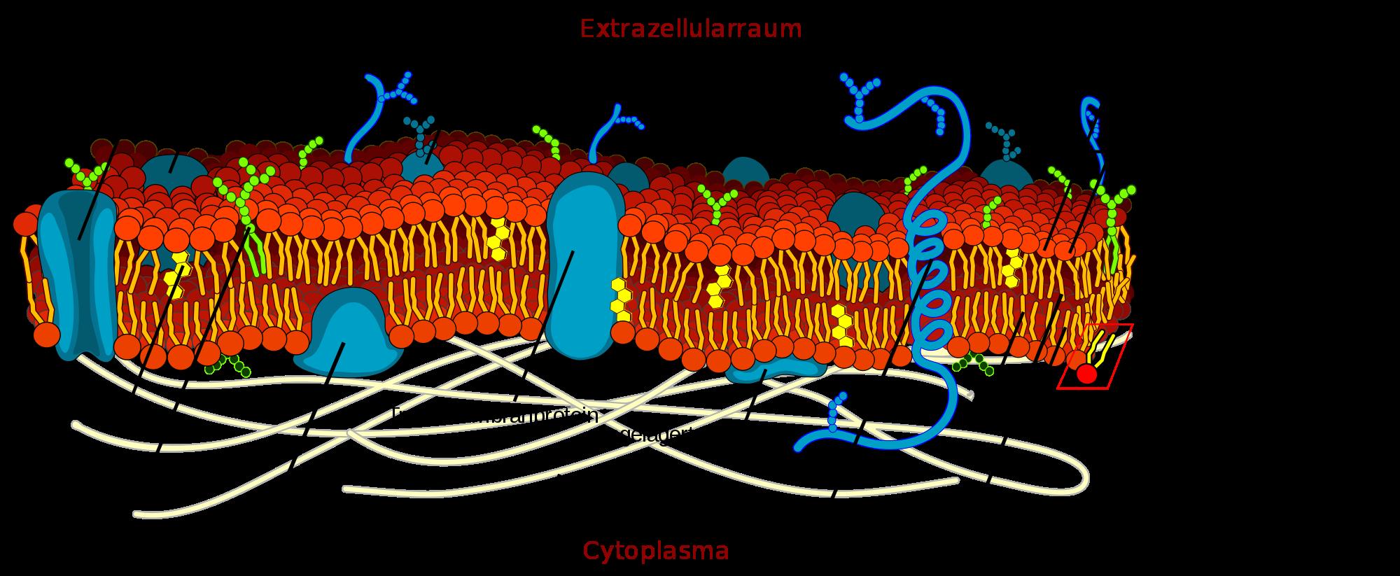 Biomembran mit Beschriftung